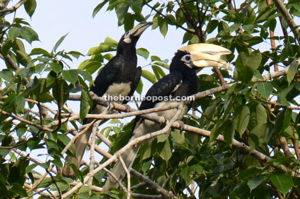 Hornbills: Agents of change at Piasau Nature Reserve